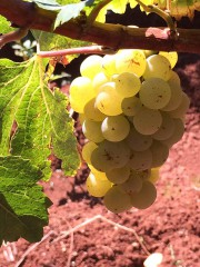 Chardonnay Koquelicot Belaigra, 0.75 l